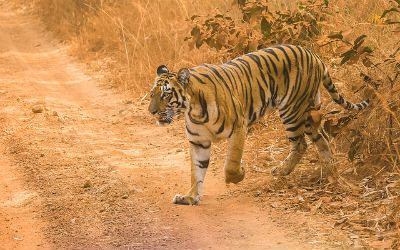 Wildlife Tour of Central India