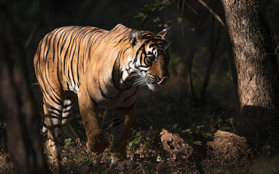 One Night Ranthambore Tour with Drop at Agra