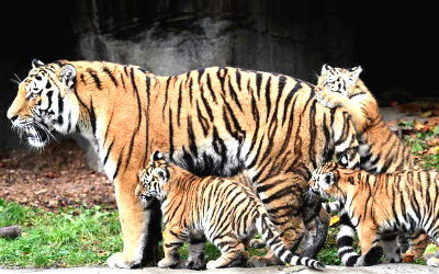 Good News for Sariska Tiger Project