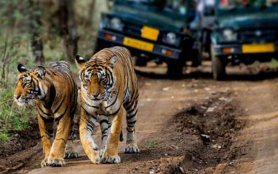 Best Tiger Safari Tour of India
