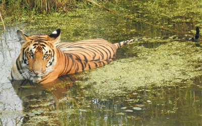 Pilibhit Tiger Reserve Safari