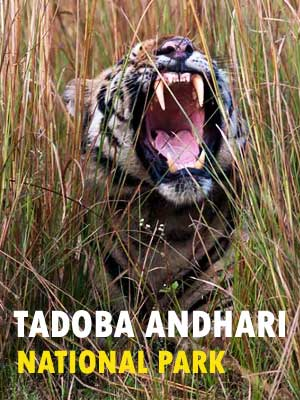 Tadoba Andhari National Park Safari