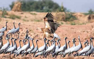 Rajasthan village hosts cranes from China and Mongolia: migratory birds have flown 6000 Kilometres